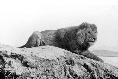 Barbary_lion