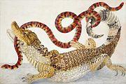 illustration_of_a_caiman_crocodilus_and_an_anilius_scytale_1701-1705_by_maria_sibylla_merian